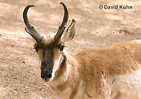 0606-1116  Pronghorn (Prong Buck) in Sonoran Desert, Antilocapra americana  © David Kuhn/Dwight Kuhn Photography