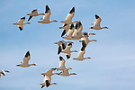 A flock of Snow Geese during a stop at Freezeout Wildlife Refuge in Montana on their spring migration north