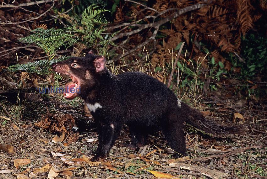 Tasmanian Devil (Sarcophilus harrisii), Tasmania, Australia