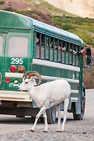 Visitors in a Denali park shuttle bus view and photograph dall sheep in Polychrome pass, Denali National Park, Interior, Alaska.