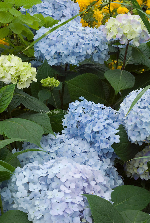 Hydrangea macrophylla Endless Summer showing many blue flowers and flowerheads and foliage