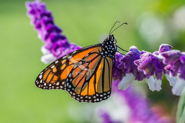 Monarch butterfly (Danaus plexippus) in flower garden, Big Sur area, CA.  Fall.