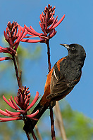 561950047 a wild spring migrant male orchard oriole icterus spurius perches on a blooming wildflower on south padre island on the texas gulf coast