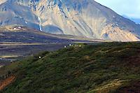 Dall sheep at pasture