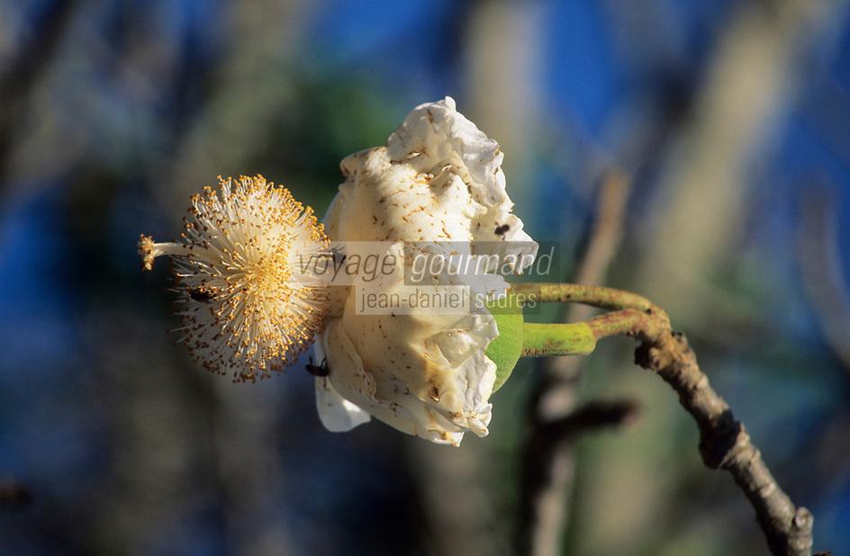 Afrique/Afrique de l'Ouest/Sénégal/Parc National de Basse-Casamance : Fleur de baobab