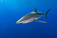 A Silky Shark, Carcharhinus falciformis, patrols just below the surface in deep water. Bahamas, Atlantic Ocean