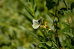 butterfly, Willow Park, Fall River Road, subalpine, forest, summer, morning, August, Rocky Mountain National Park, Colorado, USA