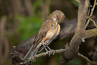 582040023 a wild clay-colored thrush tropical songbird turdus grayi preens after bathing at the valley nature center in weslaco rio grande valley texas united states