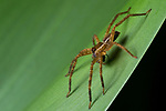 Huntsman Spider (Sparassidae) at night, Osa Peninsula, Costa Rica