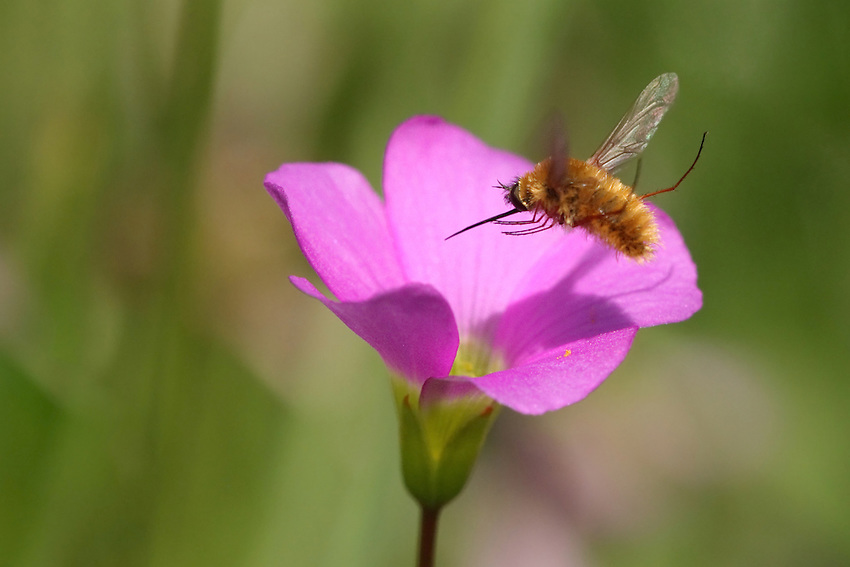 "Bee Fly with shadow over our Texas native pink Oxalis wildflower. Titled for the extra long ""sword-like"" probocis of this insect. L'Image Magazine - Nature & Wildlife Edition."