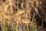 Palm warbler in early morning light of northern Wisconsin.
