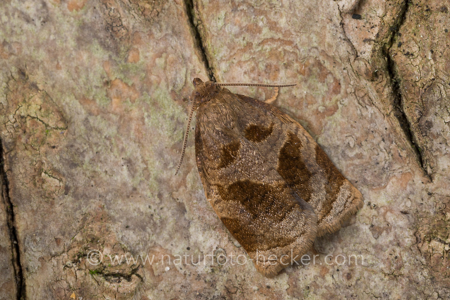 Heckenwickler, Hecken-Wickler, Männchen, Archips rosana, Cacoecia rosana, rose tortrix, , European leafroller, male, Tordeuse des buissons, Wickler, Tortricidae