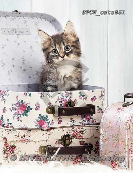 Xavier, ANIMALS, REALISTISCHE TIERE, ANIMALES REALISTICOS, cats, photos+++++,SPCHCATS851,#a#