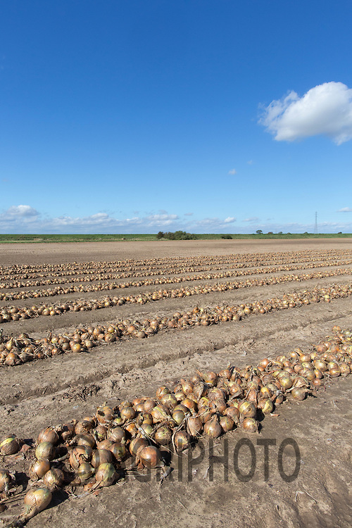 8.9.2020 Onions windrowed in the  Lincolnshire Fens <br /> ©Tim Scrivener Photographer 07850 303986<br />      ....Covering Agriculture In The UK.