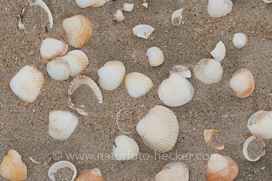Essbare Herzmuschel, Eßbare Herzmuschel, Gewöhnliche Herzmuschel, Cerastoderma edule, Cardium edule, Schale, Muschelschale am Strand, Spülsaum, common cockle, common European cockle, edible cockle