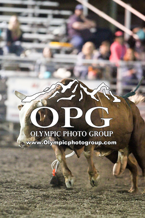20 Aug 2014: PRCA rodeo bull Wildley Legit was on hand for the Seminole Hard Rock Extreme Bulls competition at the Kitsap County Stampede in Bremerton, Washington.