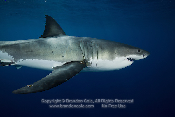 TE1354-D. Great White Shark (Carcharodon carcharias), belongs to the family Lamnidae, the Mackerel Sharks. Females sexually mature at 10 to 12 years old, give birth to 7 to 9 live pups approximately 4 feet in length. With only 4 to 6 such litters in a lifetime, this species is extremely vulnerable to overfishing and slow to recover from population crashes. Great whites are currently protected in Mexican waters. Guadalupe Island, Baja, Mexico, Pacific Ocean.<br /> Photo Copyright &copy; Brandon Cole. All rights reserved worldwide.  www.brandoncole.com