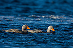 Fuegian Steamer Duck (Tachyeres pteneres) pair, Torres del Paine National Park, Patagonia, Chile