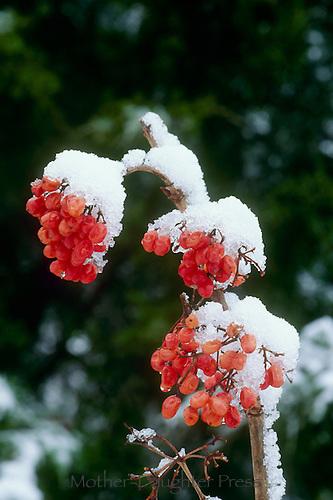 Viburnum Trilobum, American Cranberry bush, native shrub, spring snow, Missouri