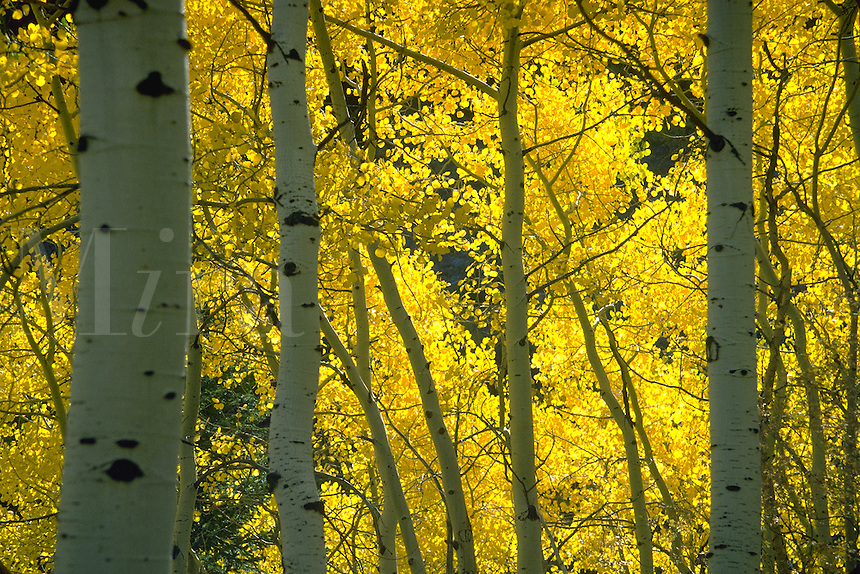 Aspens in their fall splendor in the Uintah National Forest, Utah. Utah, Uintah National Forest.