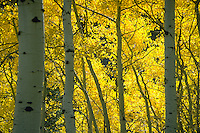 Aspens in their fall splendor in the Uintah National Forest, Utah. Utah, Uintah National Forest.