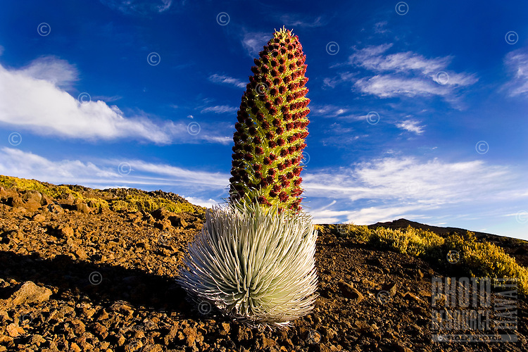 A silversword in full bloom grows near the peak of Haleakala Crater, Maui.