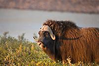 Bull Muskox, arctic coastal plains, arctic, Alaska.