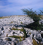 Limestone pavement with tree growing, Yorkshire Dales national park, Yorkshire, England
