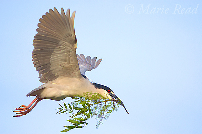 Black-crowned Night-Heron (Nycticorax nycticorax), carrying leafy stick as nest material in flight, California, USA