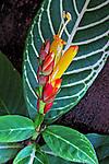 Flores. Sanquésia. (Sanchezia nobilis). SP. Foto de Manuel Lourenço.
