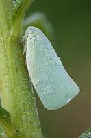 Northern Flatid Planthopper; Anormenis chloris; on Common Milkweed; PA, Philadelphia, Schuylkill Center