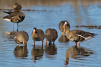 537260010 wild  greater white-fronted geese anser albifrons at colusa national wildlife refuge califonia