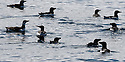 THE BESSIE ELLEN TRAVEL FEATURE.<br /> Razorbills and guillemots in the waters off the island of Lunga in the Inner Hebrides, Scotland.<br /> Photo:Clare Kendall<br /> 24/05/2016