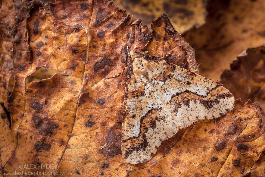 Mottled Umber moth {Erannis defoliaria} male, camouflaged on woodland floor. Peak District National Park, Derbyshire UK. November.