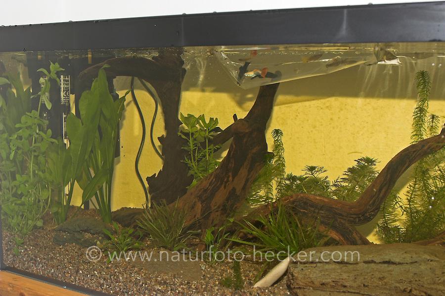 Kinder richten ein Aquarium ein, Schritt 7, verschiedene Zierfischarten werden zunächst in einer Tüte ins fertig eingerichtete Becken eingesetzt