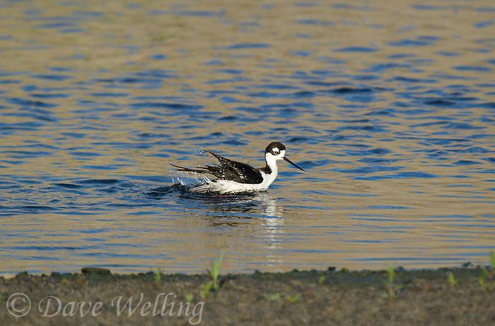579500027 a wild black-necked stilt himantopus mexicanus along the los angeles river los angeles county california