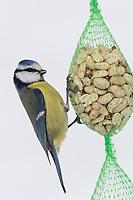 Blaumeise, an der Vogelfütterung, Winterfütterung, Nuss-Säckchen, Nusssäckchen, Nuß-Säckchen, Nussäckchen, Erdnüsse, Erdnuss-Säckchen, Erdnusssack, Erdnuß, Winter, Schnee, Blau-Meise, Meise, Meisen, Cyanistes caeruleus, Parus caeruleus, blue tit, tit, tits, La Mésange bleue