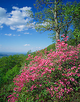 Blue Ridge Parkway, VA<br /> Pink Azalia (Rhodonendron nudiflorum) and the distant view of the Shenandoah River Valley