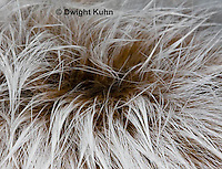 MA19-500z  Snowshoe Hare, winter fur showing underlying dark brown summer color,  Lepus americanus