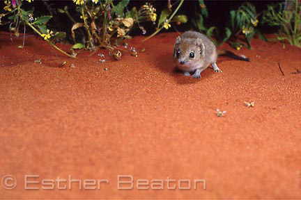 Mulgara (Dasycercus cristicauda) .Simpson Desert, Qld/Northern Territory. Endangered species.