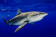 Galapagos sharks, Carcharhinus galapagensis, feeding on bait, North Shore, Oahu, Hawaii, USA, Pacific Ocean