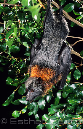 Grey-headed Flying Fox (Poliocephalus conspicillatus) in Angophora tree. Sydney, New South Wales.
