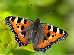 Small Tortoiseshell Butterfly, Aglais urticae, resting with wings open on leaves in garden.United Kingdom....