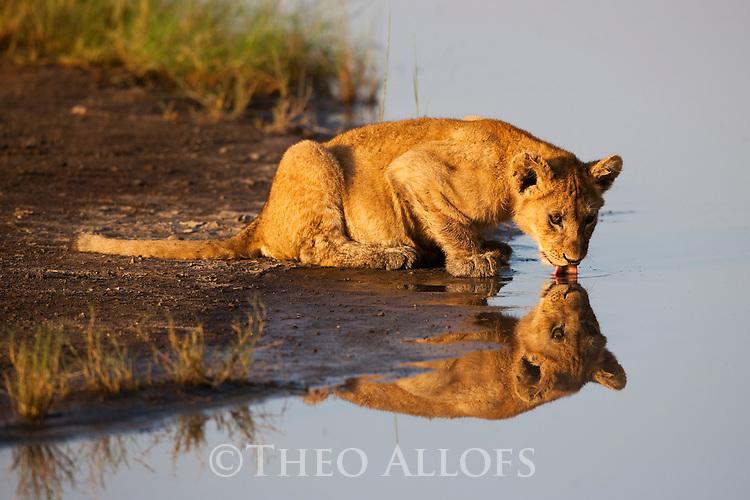 Tanzania, Ngorongoro Conservation Area, Ndutu, lion cub drinking at waterhole