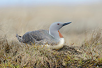 Red-throated Loon (Gavia stellata) incubating eggs on its nest. Yukon Delta National Wildlife Refuge, Alaska. June.