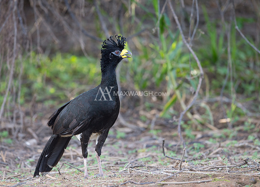 Bare-faced curassows were a common sight in the Pantanal.
