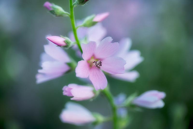 Close up of Checker Mallow (Sidalcea organa). Graham Oaks Nature Parks. Oregon