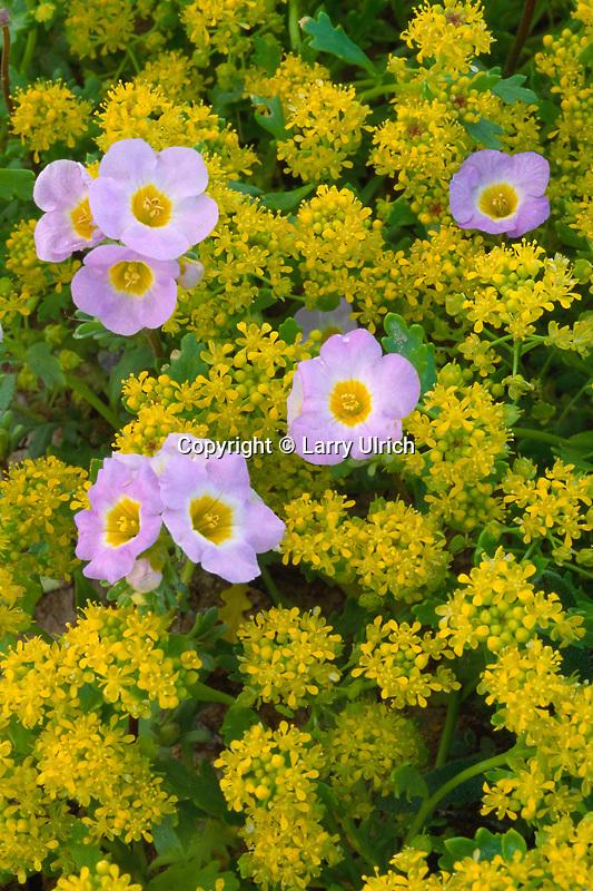 Fremont's phacelia and yellow peppergrass<br /> Stewart Valley<br /> California Desert Conservation Area<br /> Mojave Desert,  California
