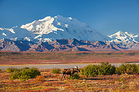 Bull moose stands on the autumn colored tundra with the summit of Denali in the distance, Denali National Park, Alaska.