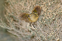 554800019 a wild adult ruby-crowned kinglet regulus calendula takes flight from a small desert plant in the northern mojave desert in califonria